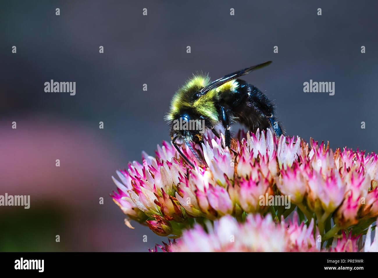 Schwarz und Gelb Bumble Bee Pollen sammeln auf einer Blume. Makro Abstand mit hoher Klarheit auf dem Insekt. Stockbild