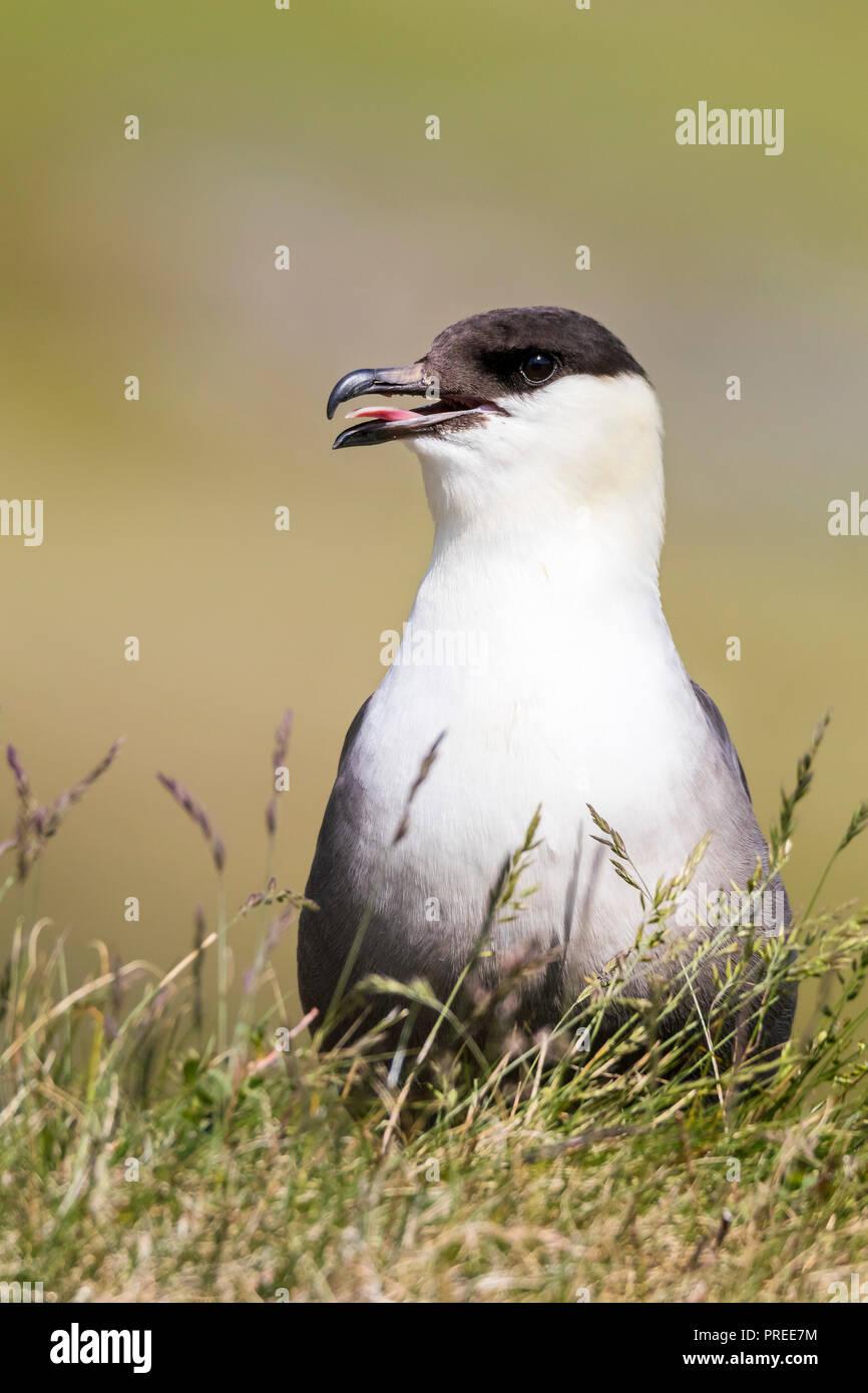 Long-tailed Skua Stockfoto