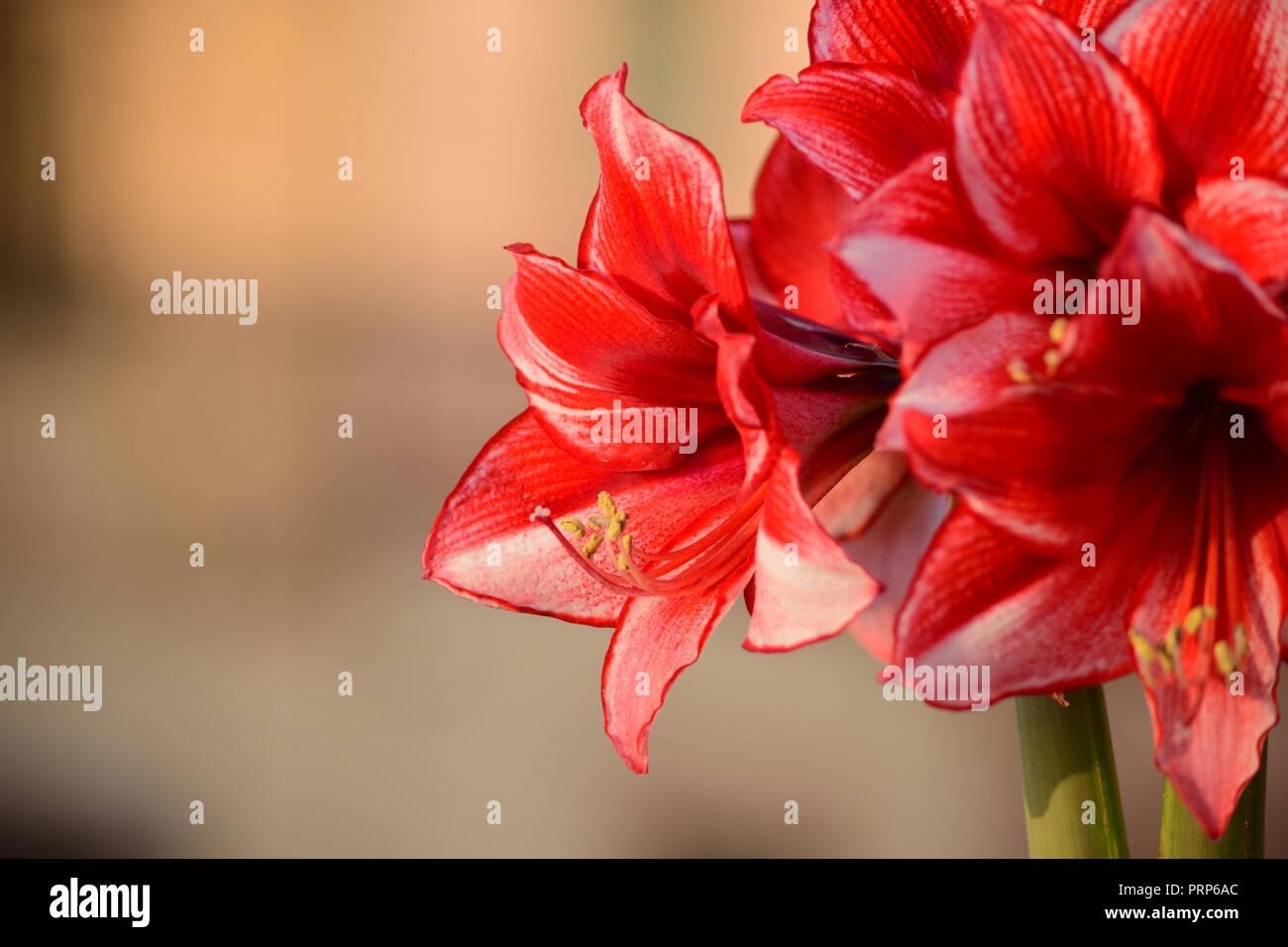 Ein Bündel von Charisma Amaryllis Blumen, von zwei stammt aus der gleichen Lampe. Weiße Blüten mit staubgefäßen. Garten, Dachterrasse, Malta Stockbild