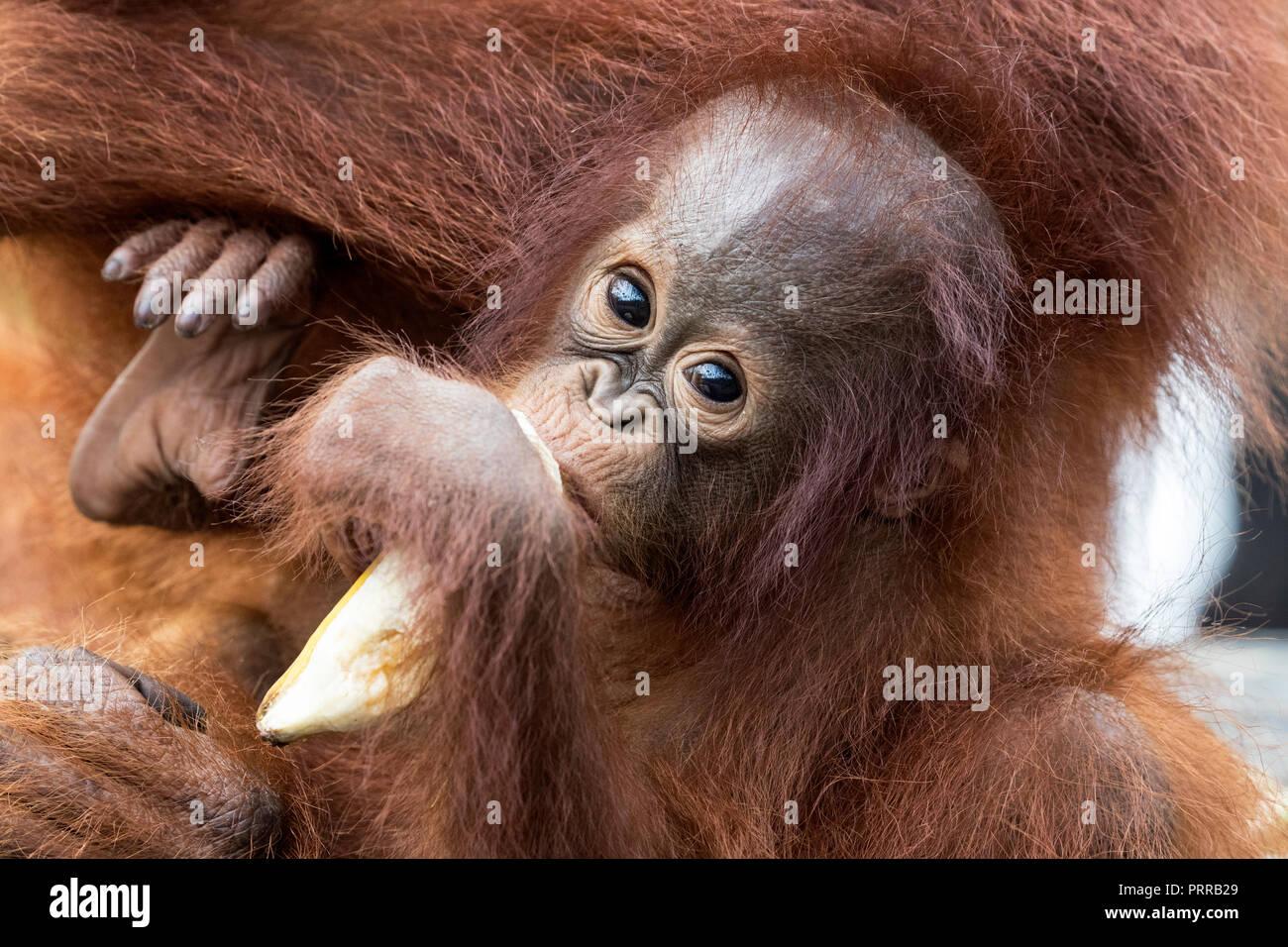 Baby bornesischen Orang-utans, Pongo pygmaeus, mit der Mutter, Buluh Kecil Fluss, Borneo, Indonesien. Stockbild