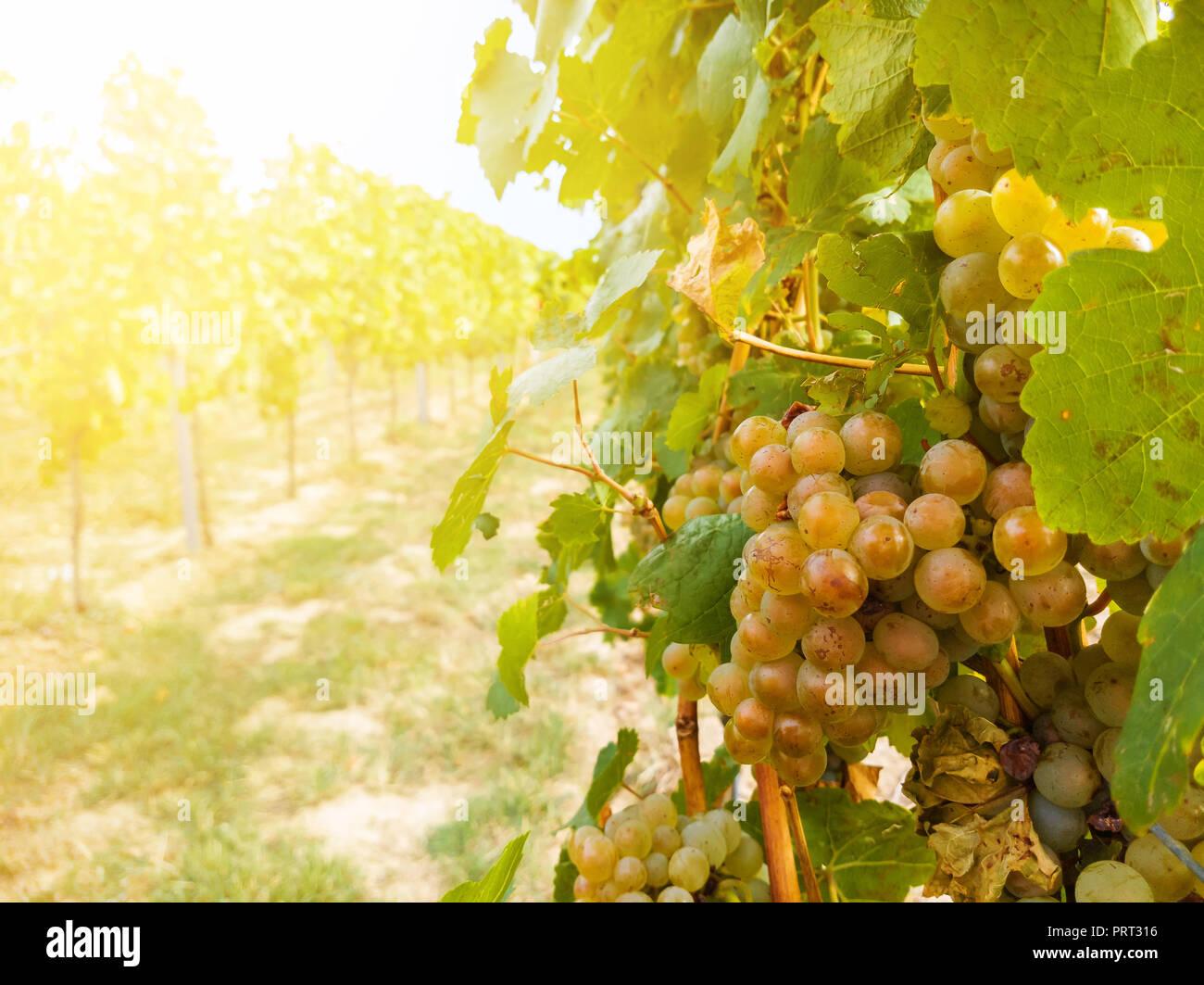 Grapevine Anlage und reife Trauben im Weinberg Stockbild