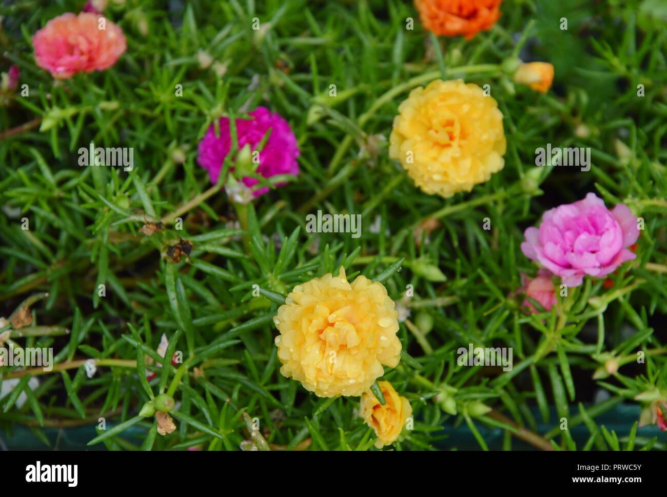 Rose Moos Im Garten Stockfoto Bild 221219879 Alamy