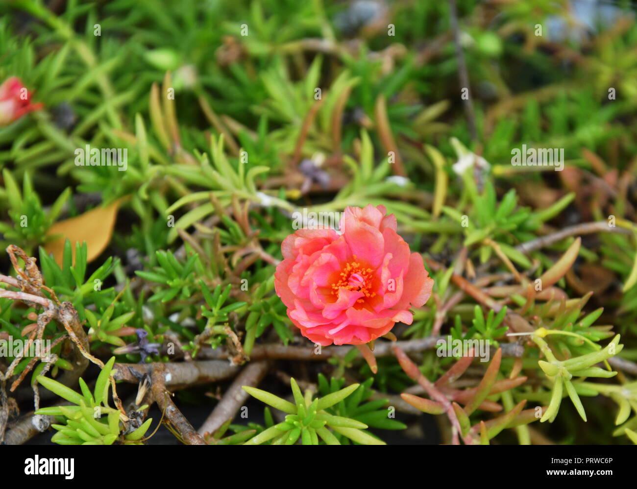 Rose Moos Im Garten Stockfoto Bild 221219902 Alamy