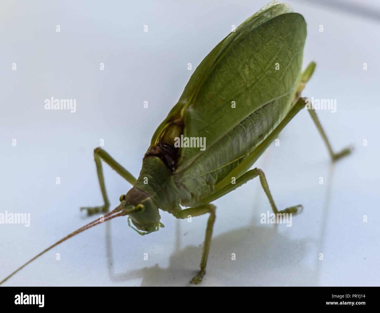 Katydid (oder Bush Cricket) auf weißen reflektierenden Hintergrund Stockbild