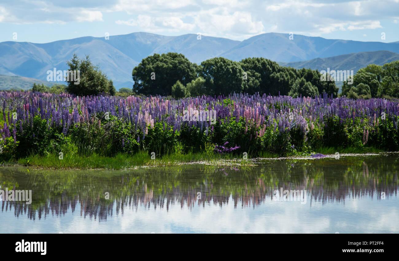 Neuseeland, Lupinen in der Nähe von Lake Tekapo Stockbild