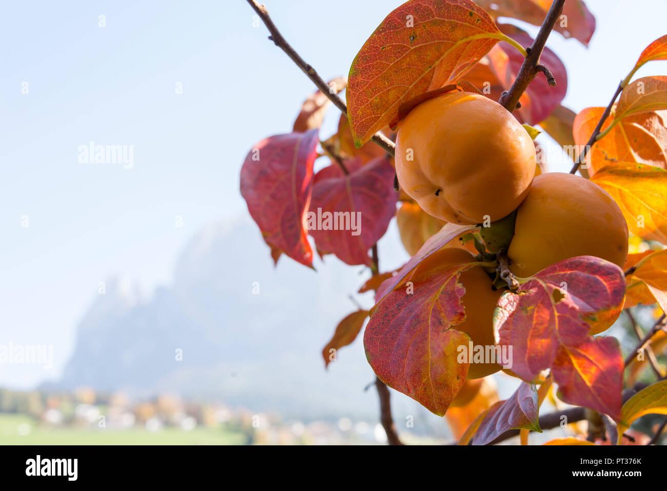 Apple tree vor Romantik Hotel Turm, mit Blick auf den Schlern, Völs am Schlern, Seiser Alm, Dolomiten, Südtirol, Italien Stockbild