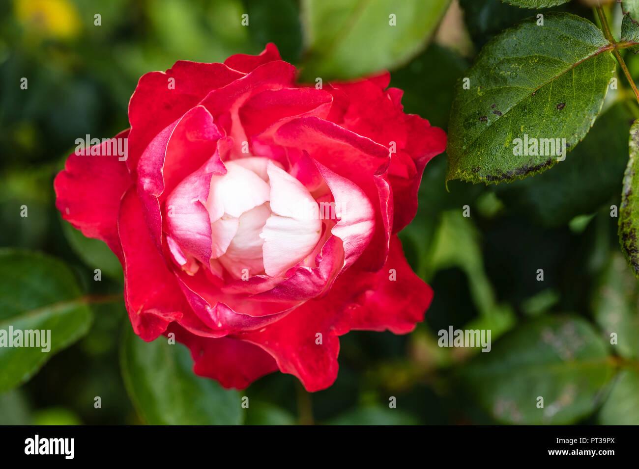 Rose Sorte 'Nostalgie', Blume Stockbild