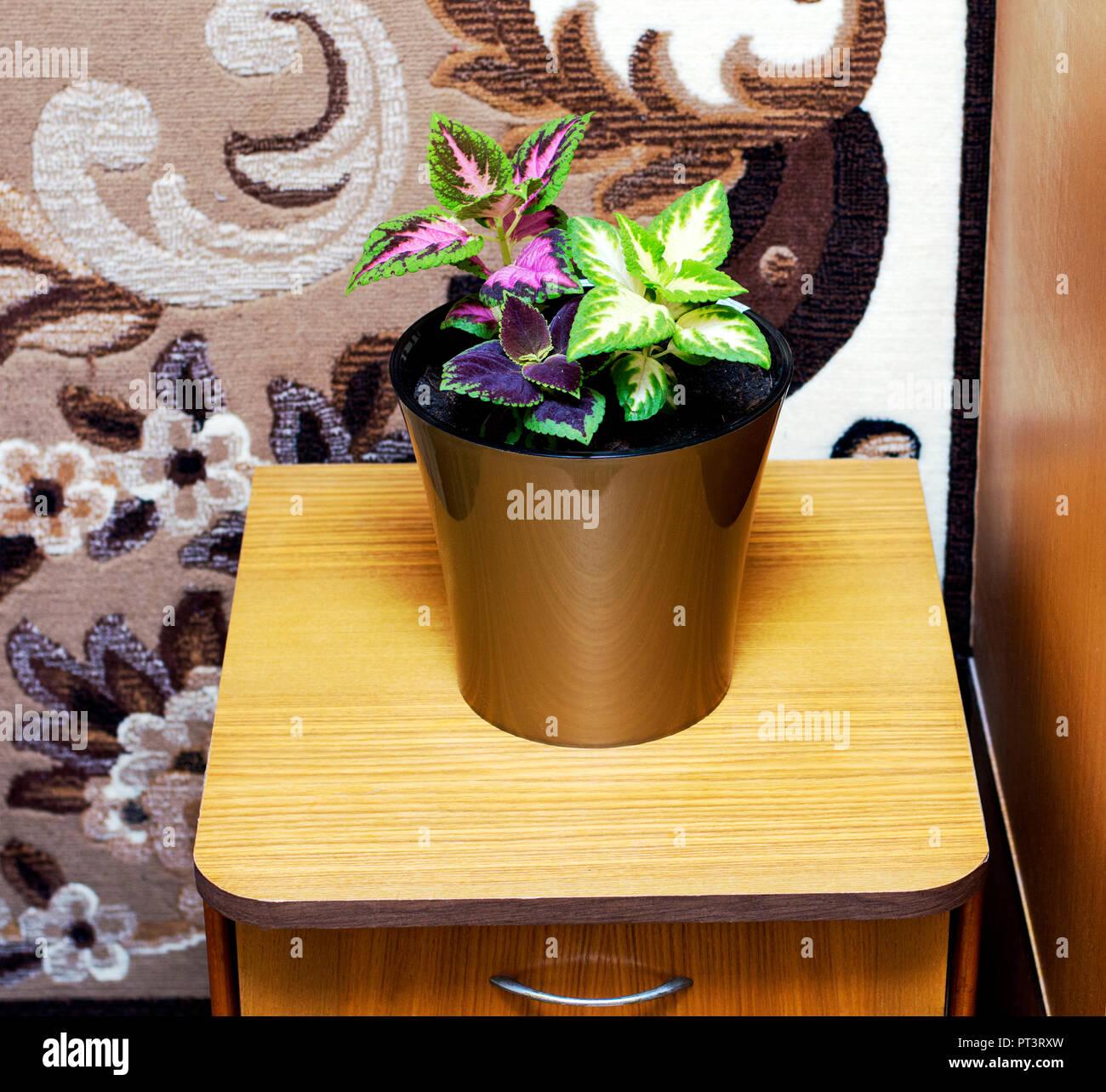 Coleus in einem Topf im Schlafzimmer, ist das Thema Blumen home ...