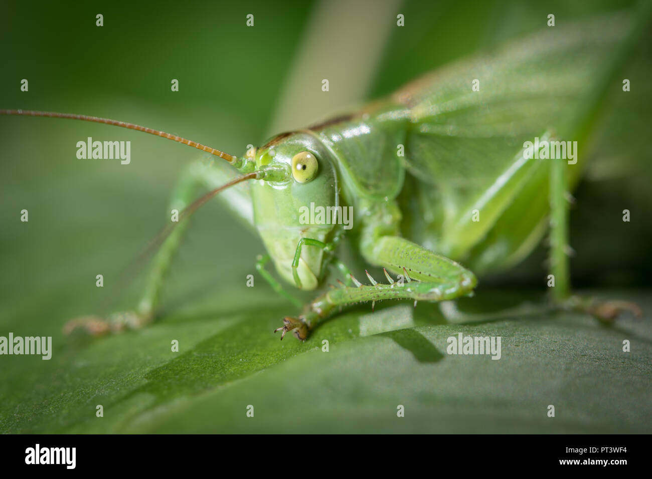 Porträt eines großen Green Bush - Kricket Tettigonia Viridissima) sitzt auf einem Blatt Stockbild