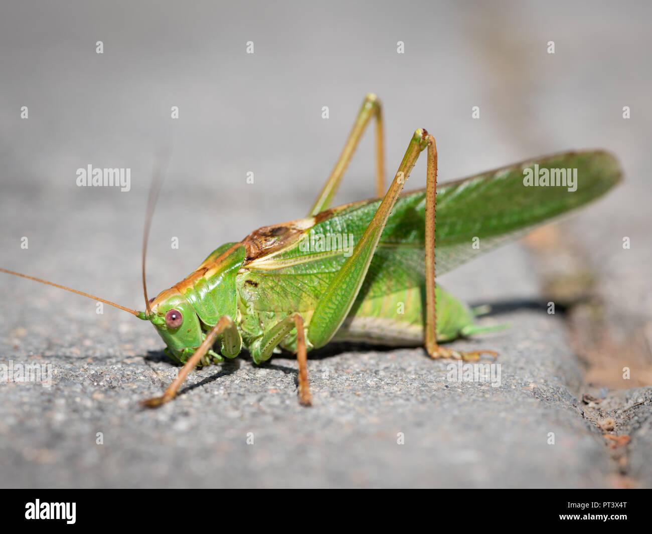 Porträt eines großen Green Bush - Kricket (Tettigonia Viridissima) sitzt auf dem Bürgersteig Stockbild
