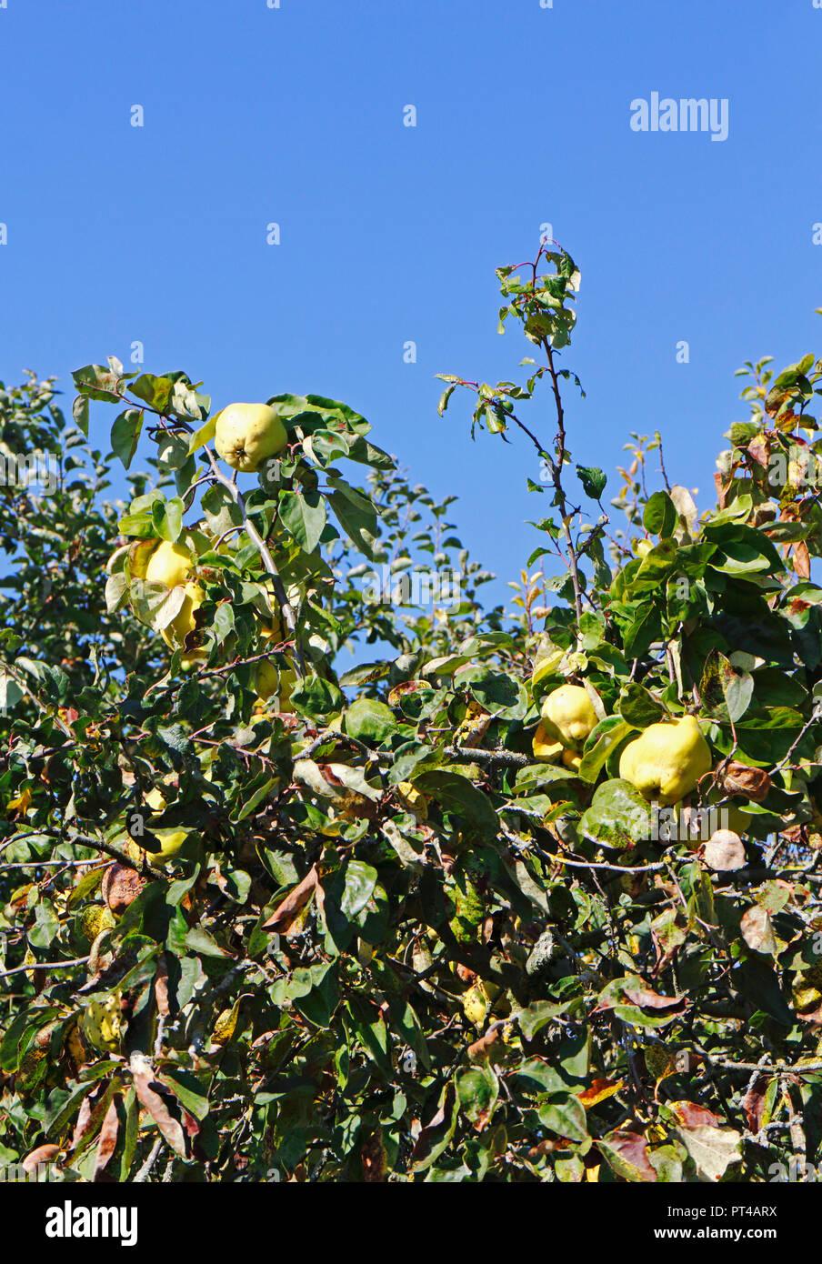 Eine Aussicht auf ein Baum, Quitte Cydonia oblonga, im Herbst mit reifenden Früchten. Stockbild