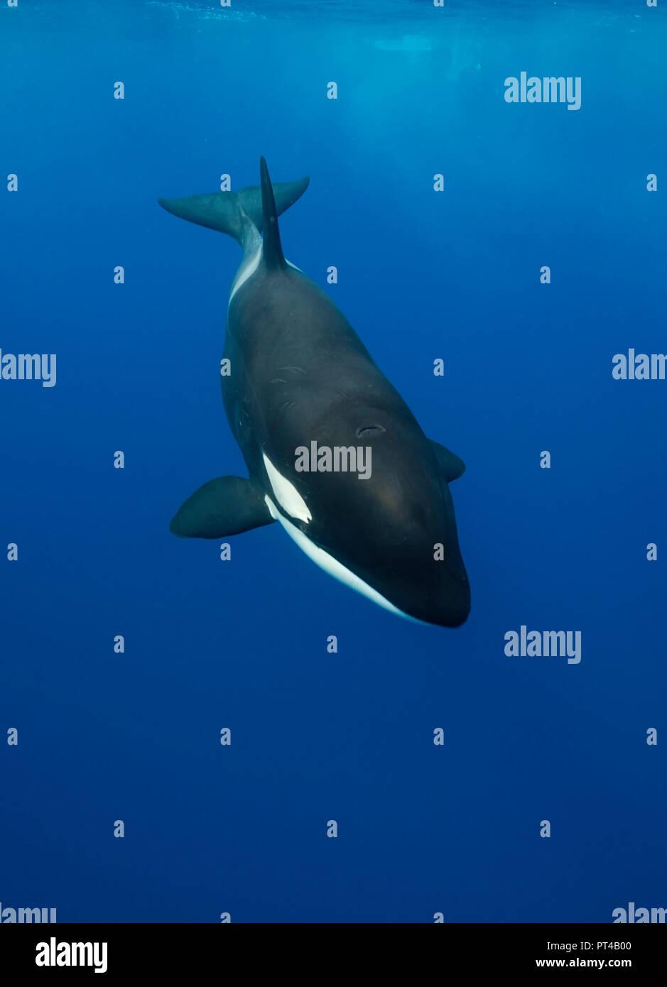 Killer Whale, Pazifik, Neuseeland. Stockfoto
