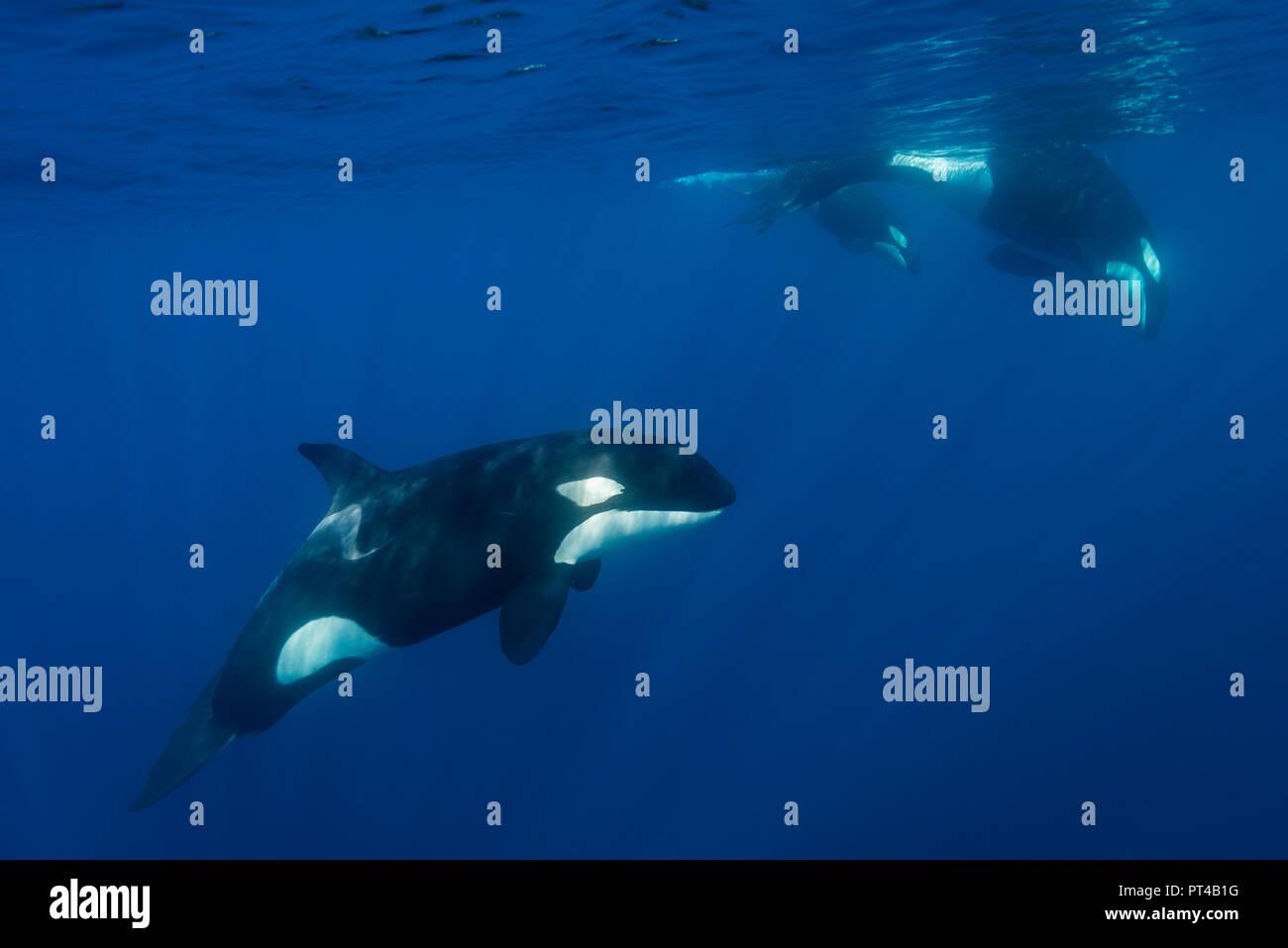 Schwertwale, Pazifik, Neuseeland. Stockbild