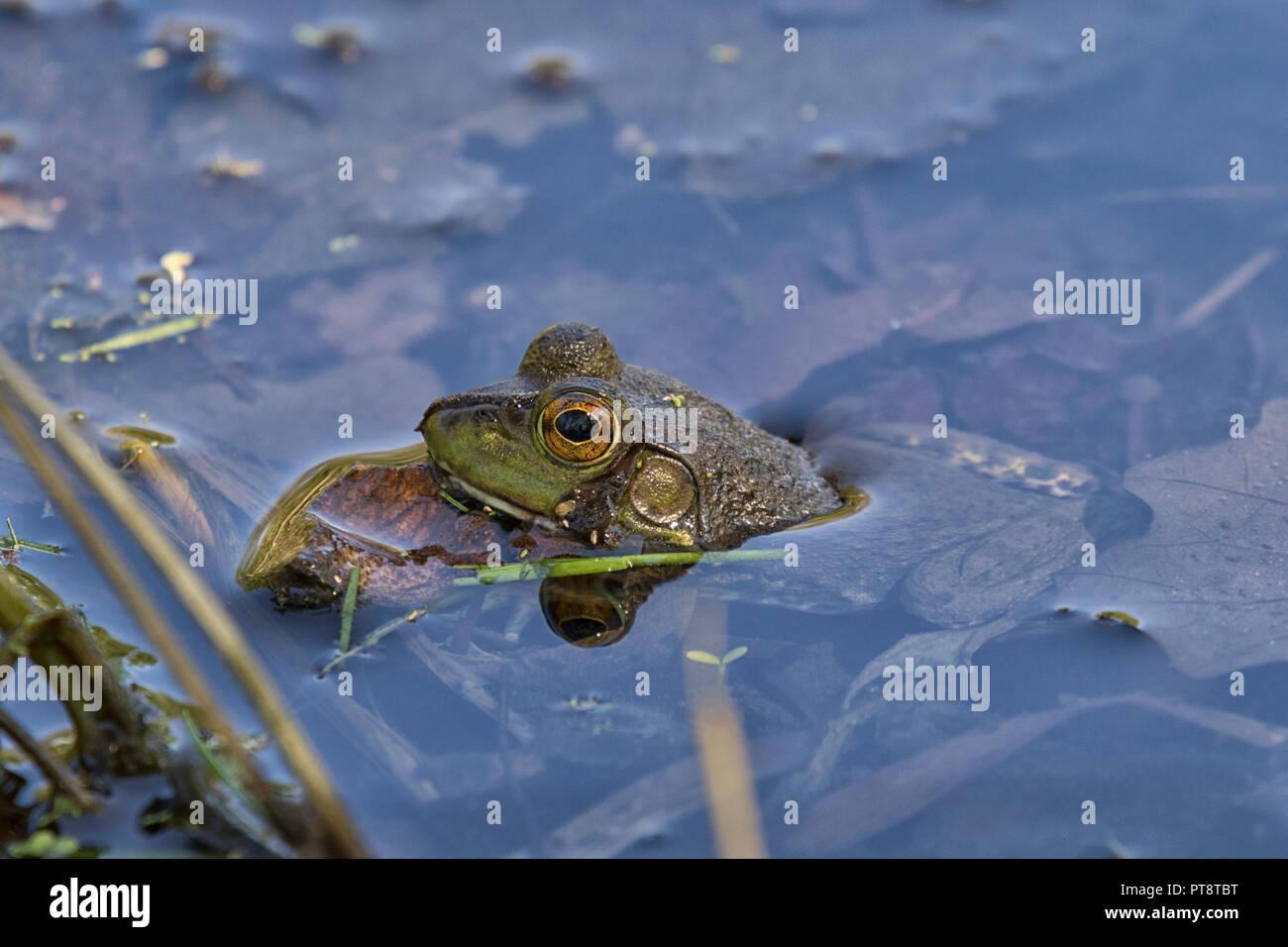 Amerikanische Ochsenfrosch versteckt im Wasser, Iowa, USA Stockbild
