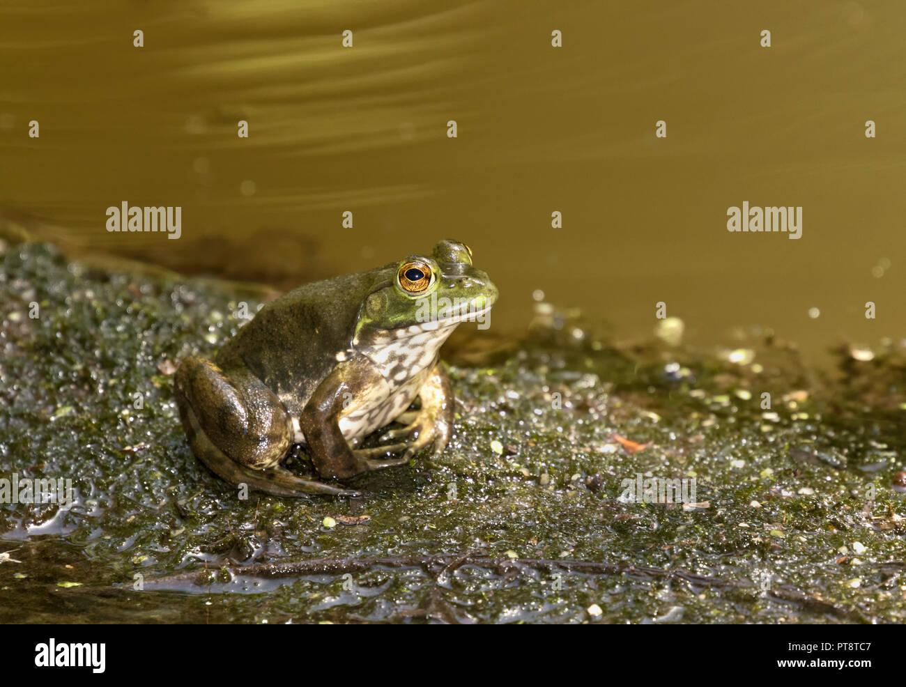 Amerikanische Ochsenfrosch auf dem Wasser Rand in Ledges Park, Iowa, USA sitzen Stockbild