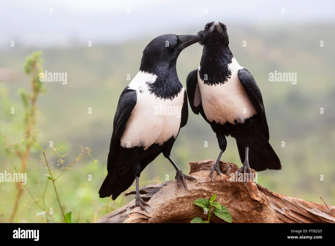 Ein paar der Südafrikanischen Pied Krähen Corvus Albus in der gegenseitigen Gefiederpflege engagiert und stehen auf einem Holz- zweig Stockbild