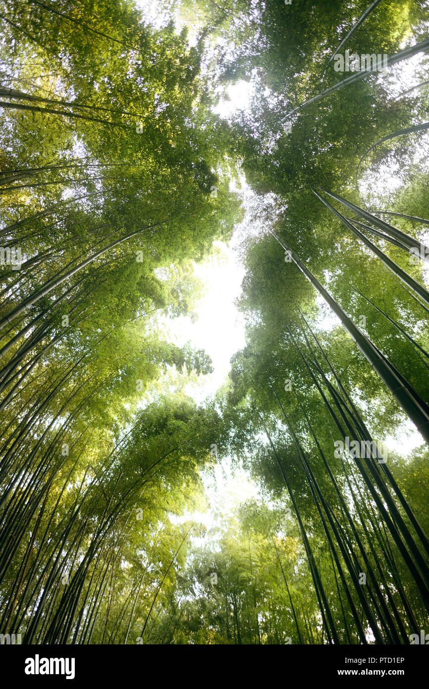 Arashiyama Bambuswald, gen Himmel Ansicht der Baumkronen, Kyoto, Japan Stockfoto