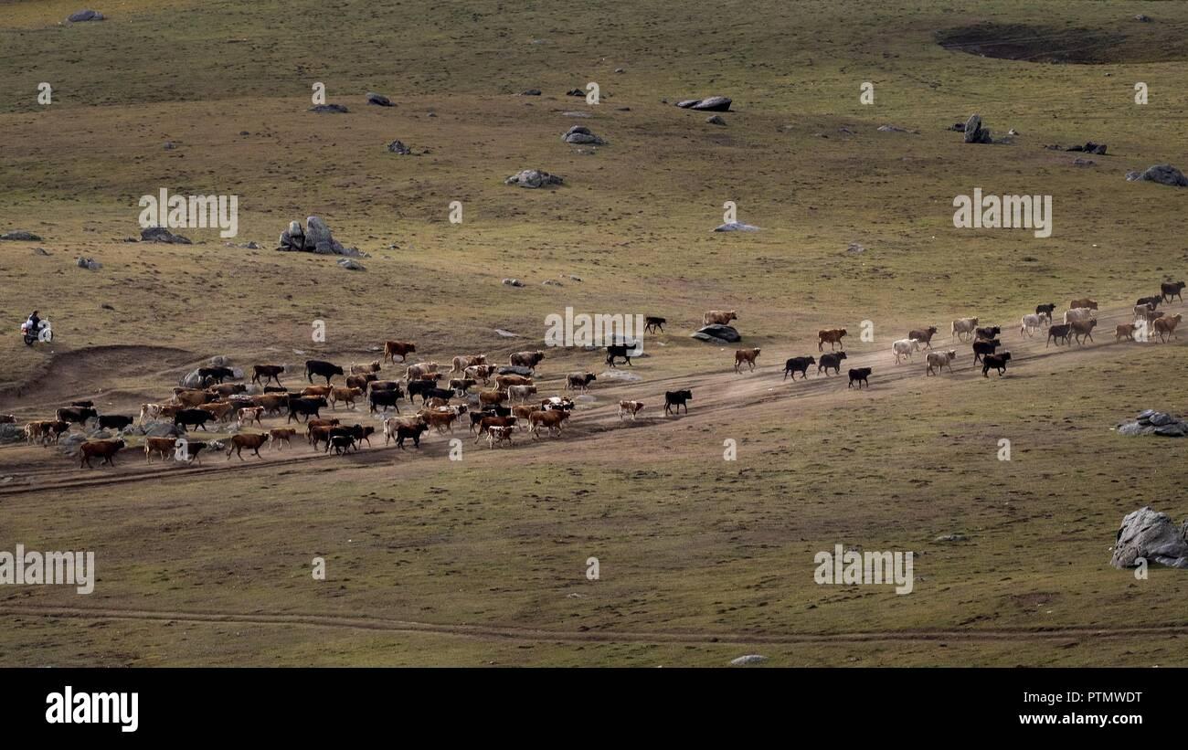 5ca305cb2b Aletai, CHINA - Hirten weiden Schafe und Rinder in Aletai, Northwest  Chinaââ'¬â