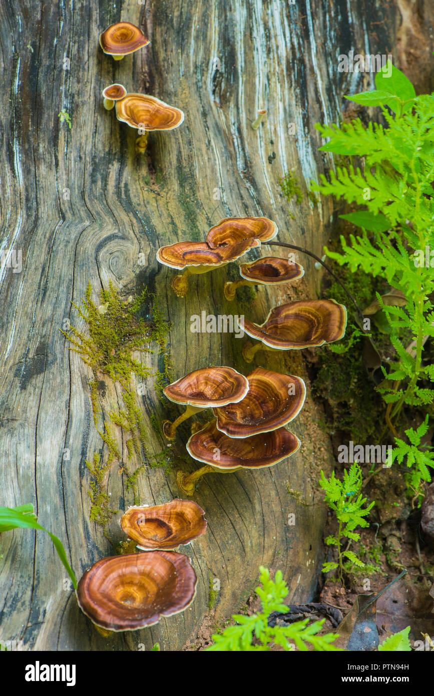 Polypores wachsen auf einem Baumstamm in Chiang Mai, Thailand Stockbild