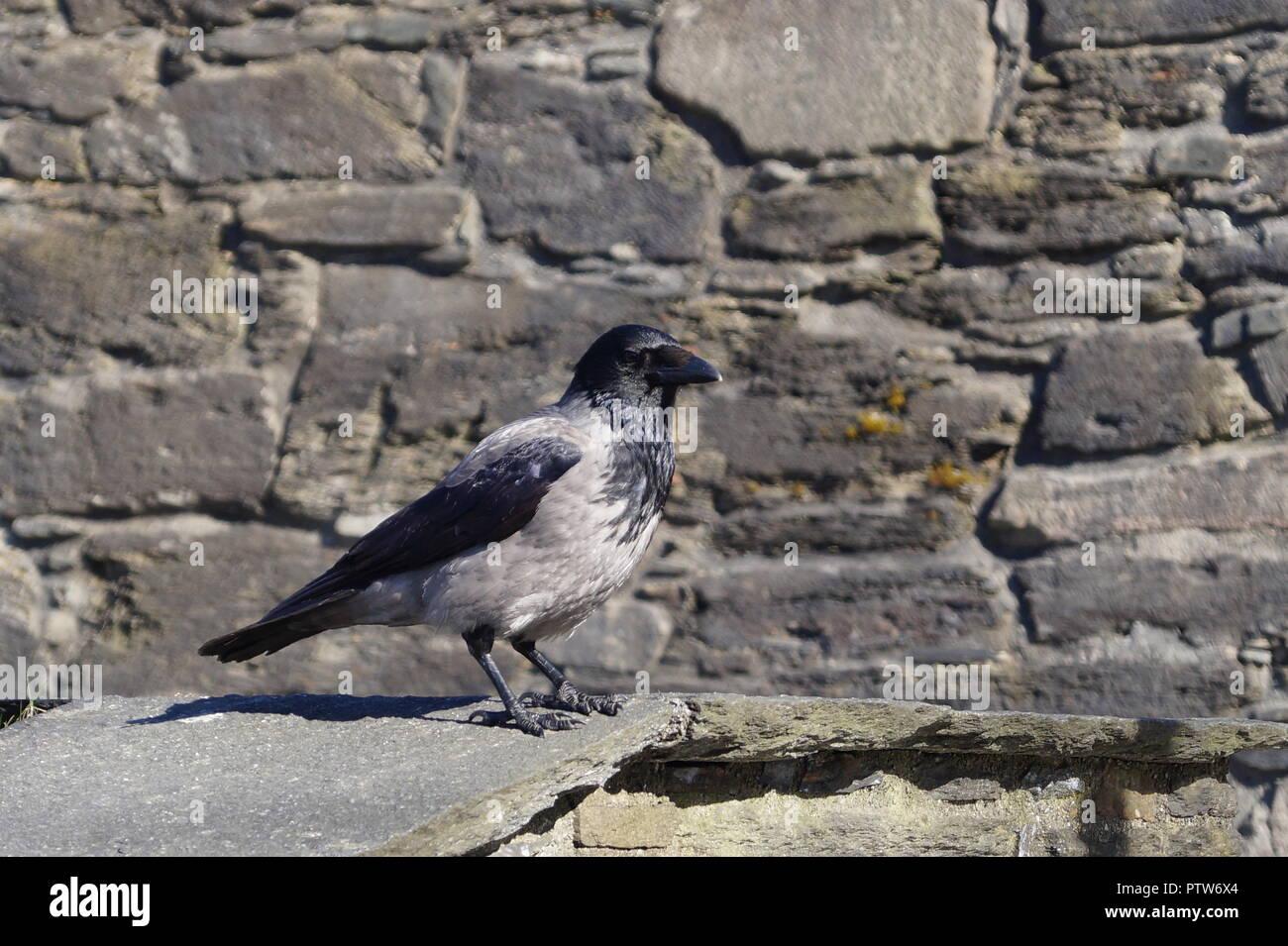 Rabe oder Krähe auf Fuerteventura - Corvus Corax Stockbild