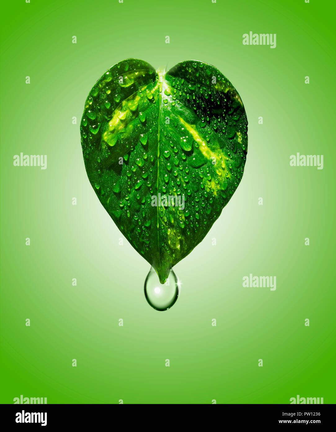 Konzept ein Blatt von Golden Pothos Pflanze mit Wasser Tropfen Tropfen, Hydratation, feuchtigkeitsspendende, Kosmetik Stockbild