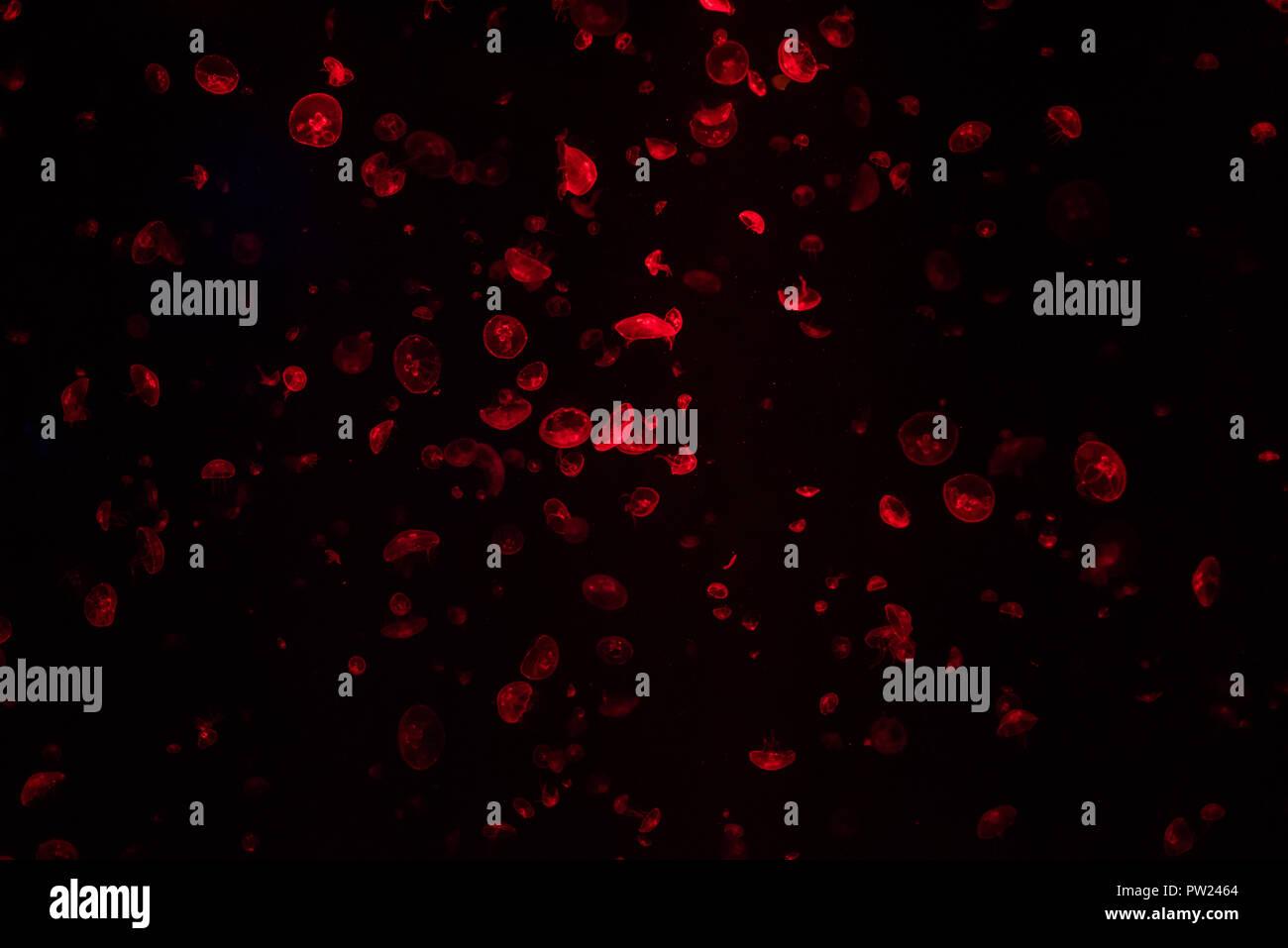 Rote Quallen in dunklen Aquarium mit vielen anderen Gelees schwimmend auf dem Hintergrund Stockfoto