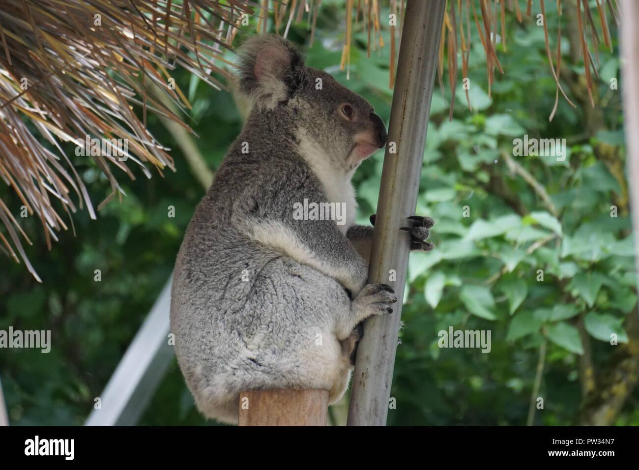 Eine flauschige Koala bear hanging auf einem Ast im Zoo und seine herrlichen Profil Stockbild