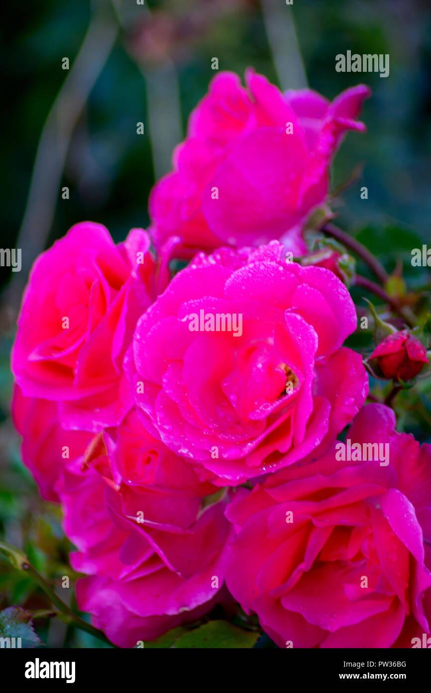 Konzept FLORA: Rosen im Oktober Stockbild
