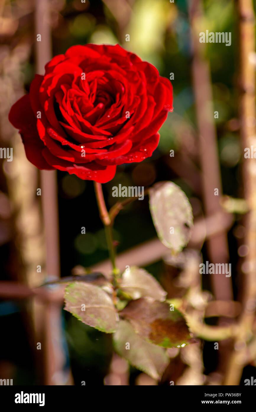 Konzept FLORA: Goldener Oktober Rose Stockbild