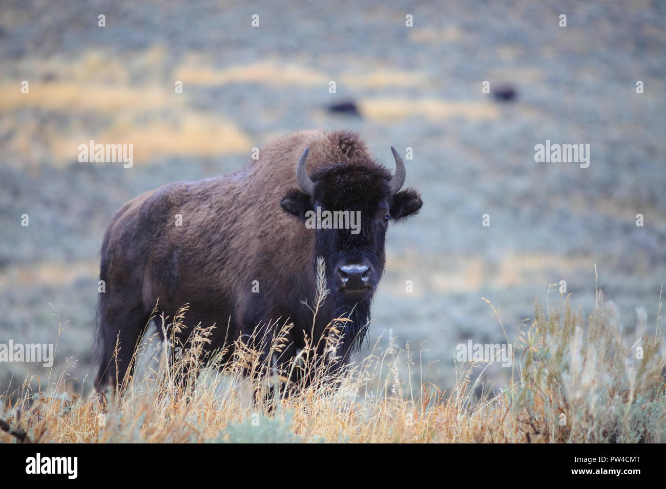 American Bison Buffalo Bison Bison Female Cow Stockfotos   American ... 9fcc9f2488