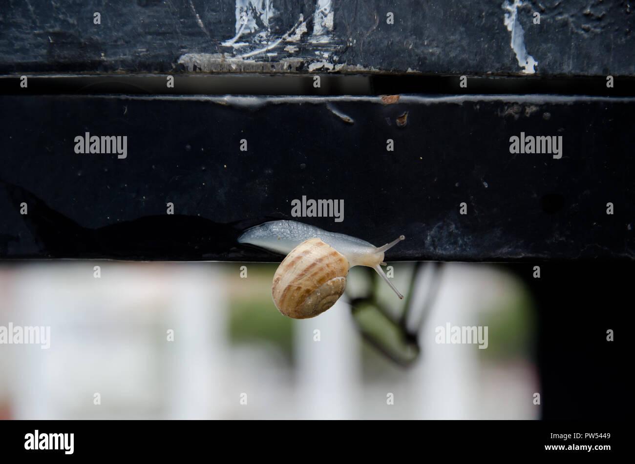 Weissen Transparenten Baby Schnecke Auf Schwarz Metall Zaun Nach