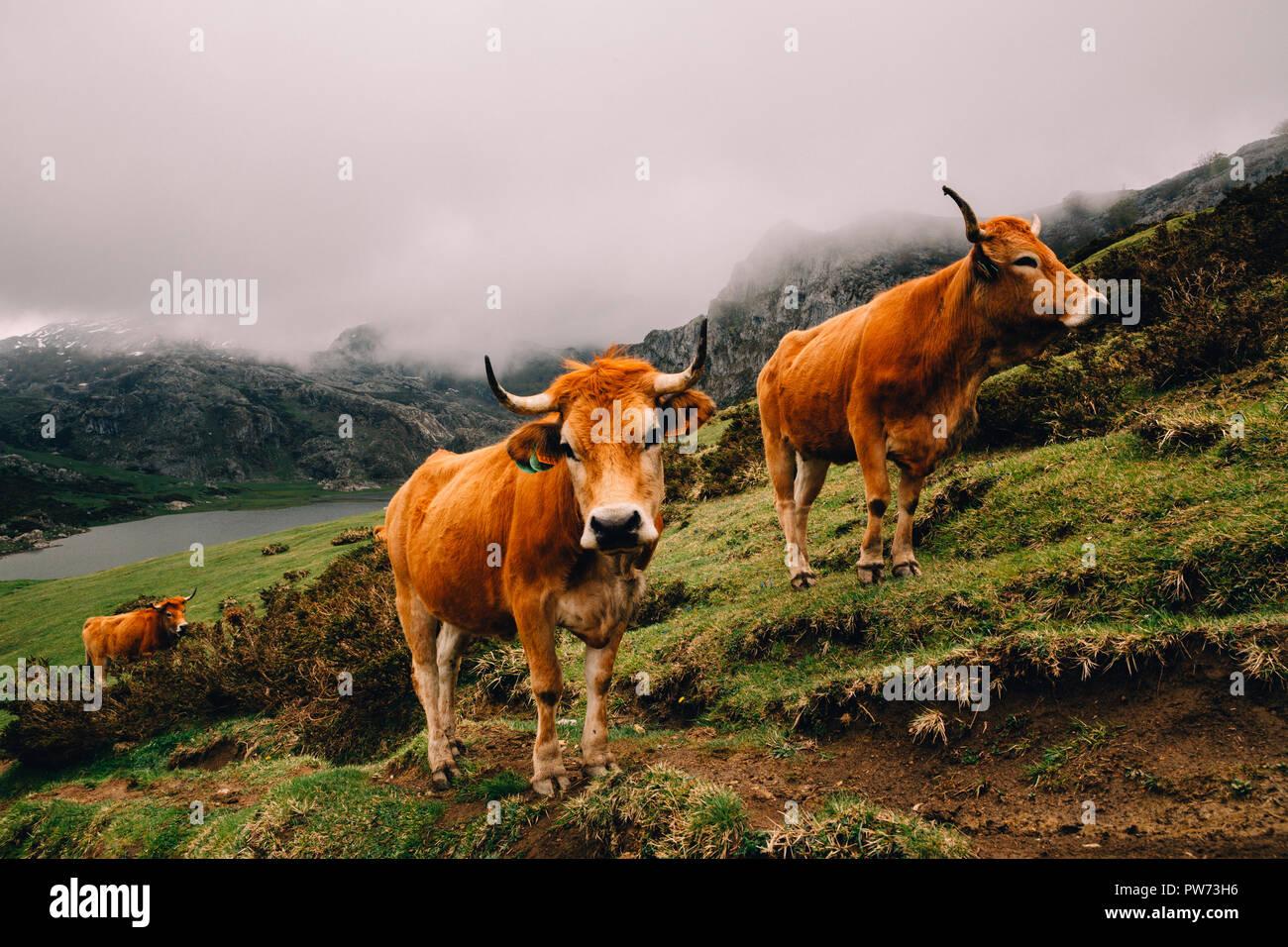 Ox, Picos de Europa Nationalpark, Asturien, Spanien, 2018 Stockbild