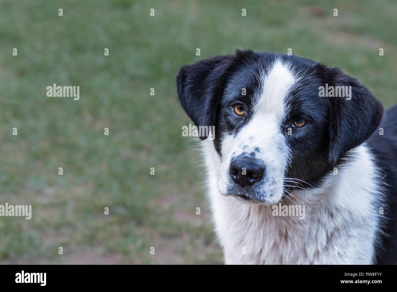 Schwarz Weißer Hund Auf Einem Unscharfen Hintergrund Stockfoto Bild