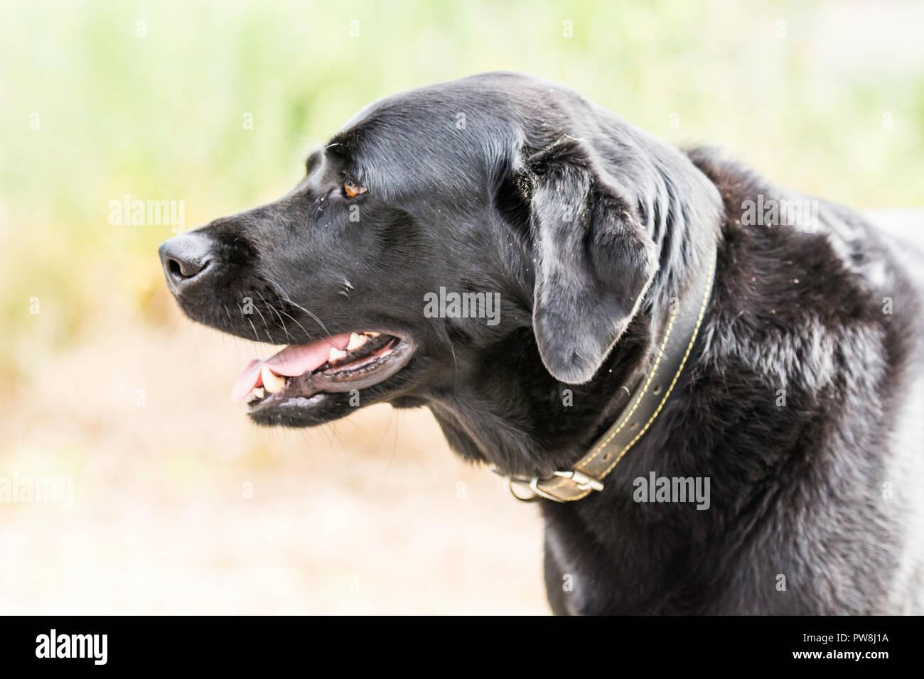 Seitenansicht eines schwarzen Labrador Stockbild