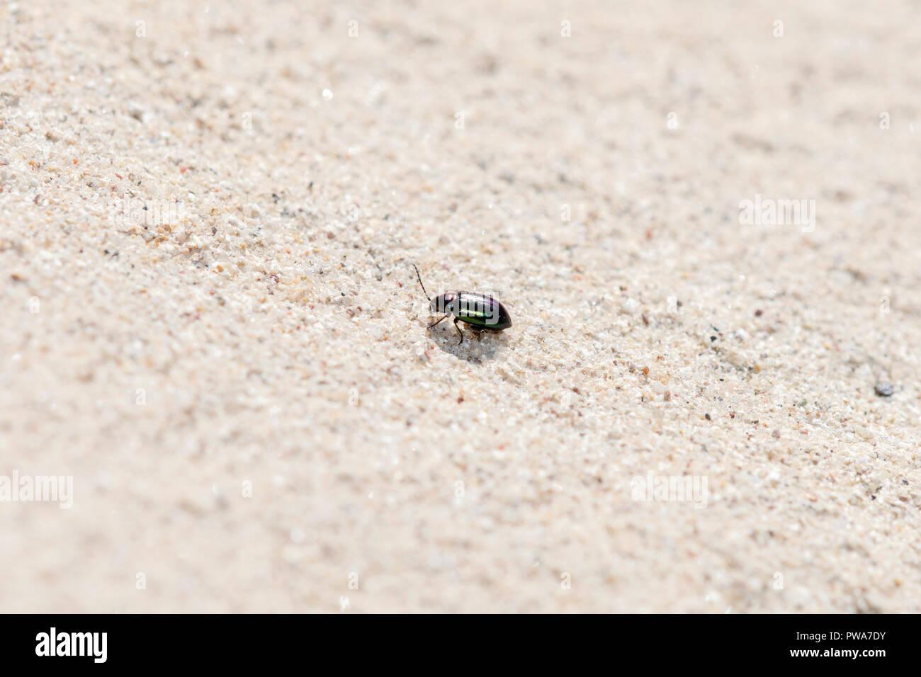 Metallic Violett und Grün Flea Beetle (Altica sp.) Kriechen auf Sandstein in den östlichen Ebenen von Kolorado Stockfoto
