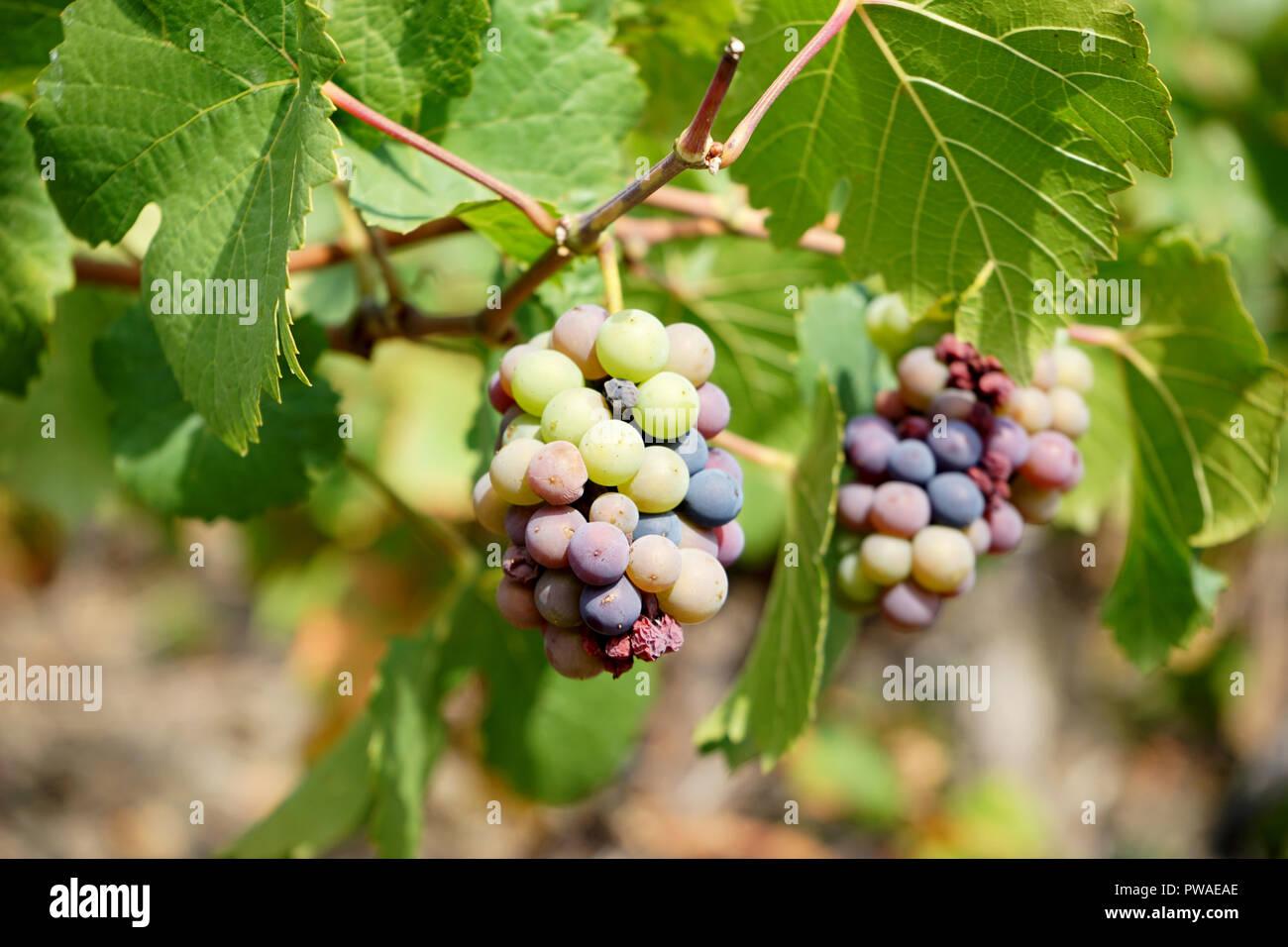 Weintrauben, Moseltal, Deutschland, Europa Stockbild