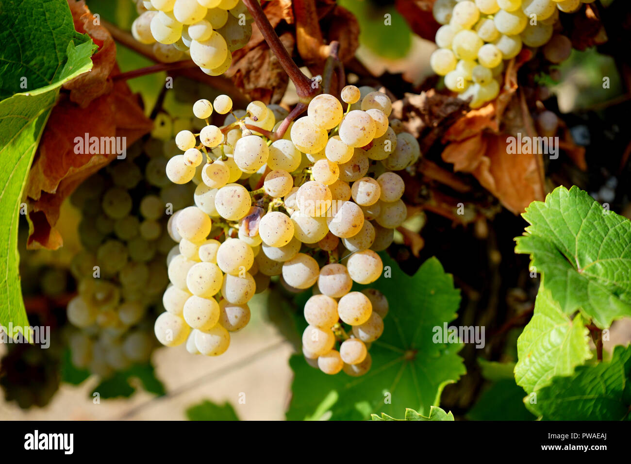 Rieslingtrauben, Edle Weinrebe (Vitis vinifera Subsp vinifera), Moseltal, Deutschland, Europa Stockbild