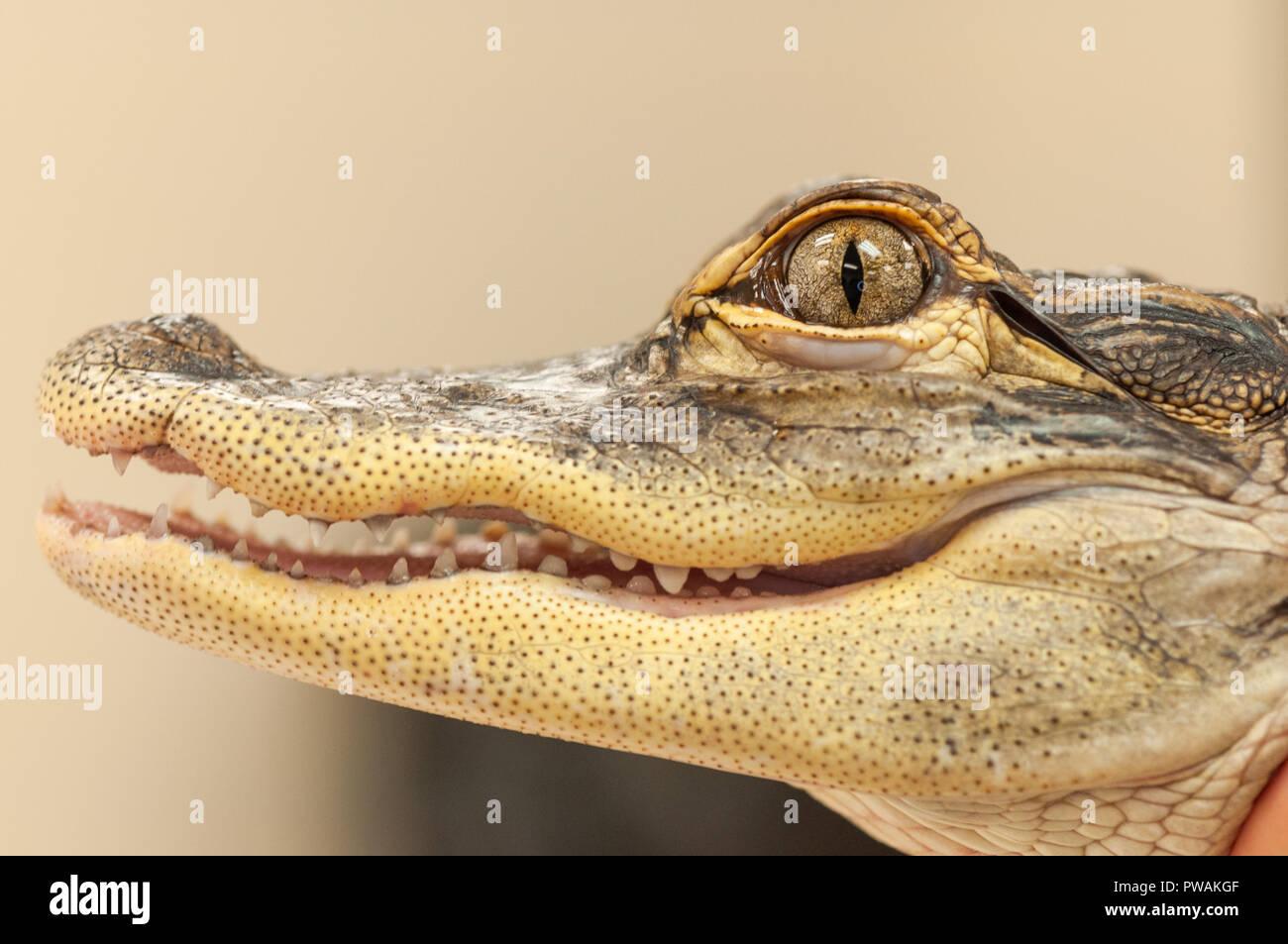 Gemeinsame Kaimane (Caiman crocodilus) Alligator Nahaufnahme von Mund und Auge Stockfoto