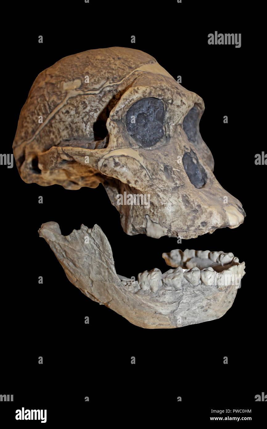 Frau Ples Australopithecus africanus Stockbild