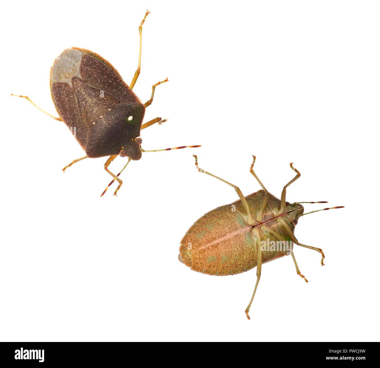 Stinken aka Schild bugs Nezara viridula, Erwachsene, im Winter Farben. Ober- und Unterseite, auf weissem isoliert. Makro. Mit Eier parasitischer Fliegen. Stockbild