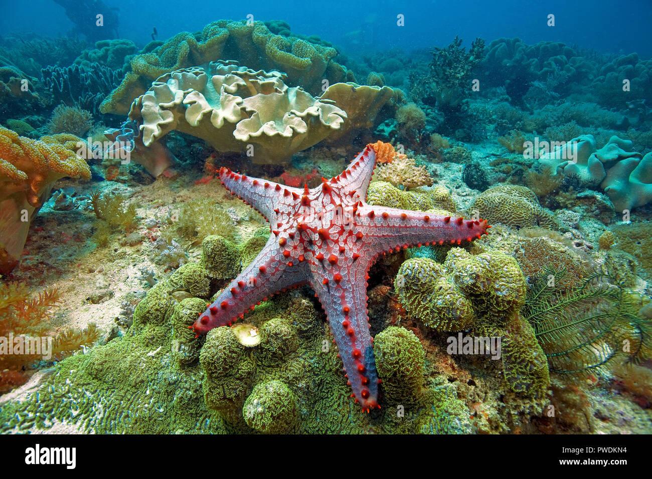 Red genoppte Seesterne (Protoreaster lincki) an Leder Korallen, Malapascua, Philippinen Stockbild