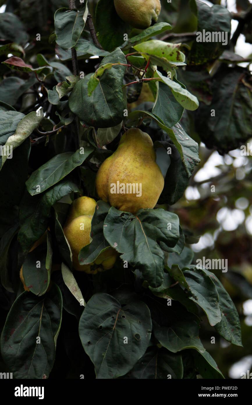 Grüne Quitte Früchte hängen an eine Quitte Baum Stockbild