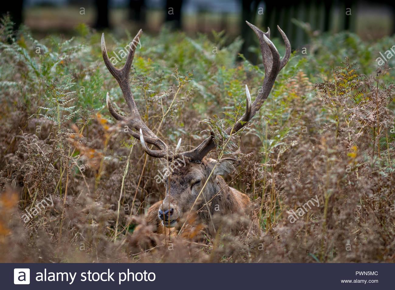 Eine traurige, Red Deer stag verbirgt allein in einem Masse der Farne und Gräser im Herbst Furche. Stockbild