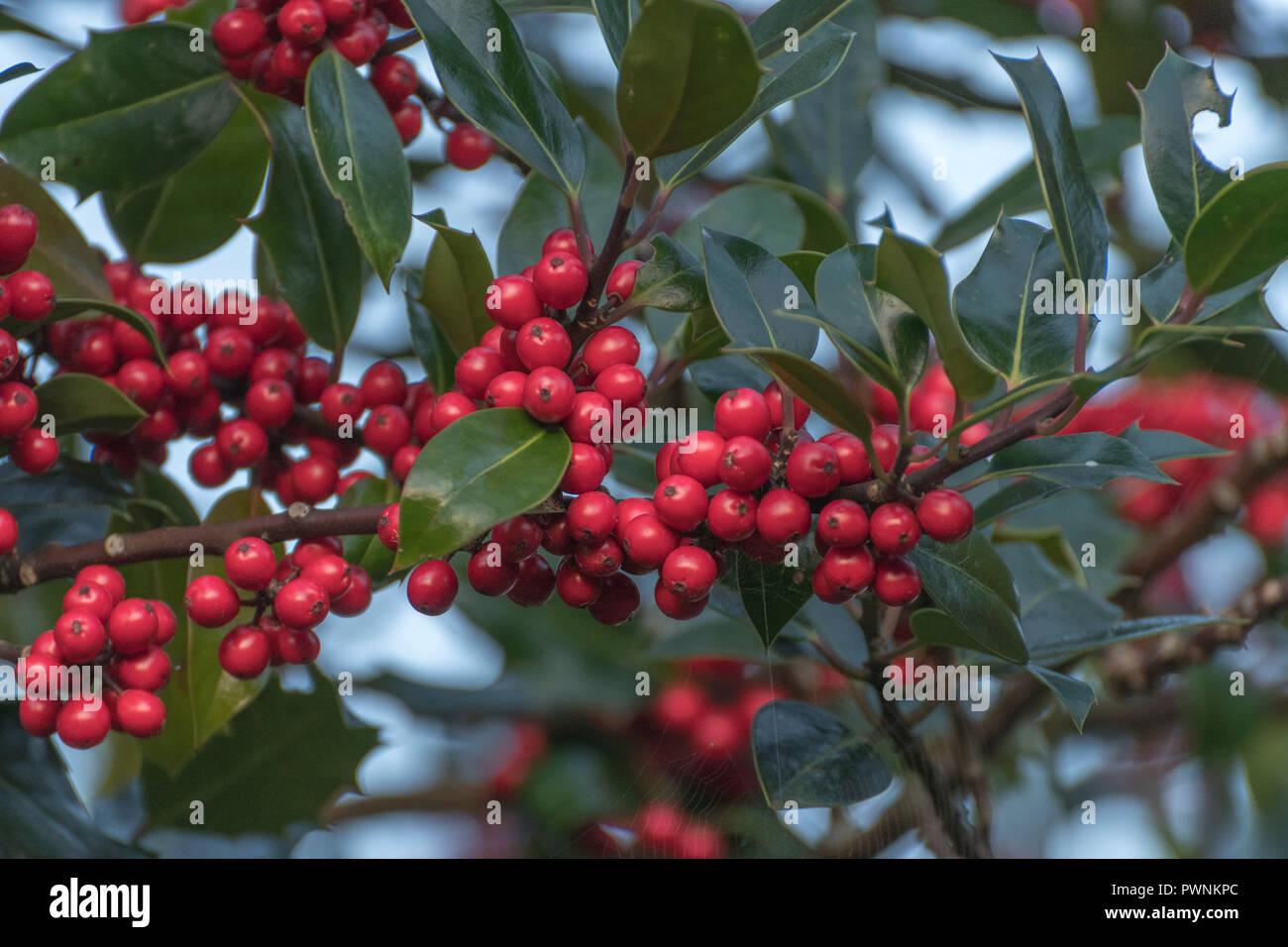 Berühmt Stechpalme/Ilex aquifolium Baum Hecke, mit roten Beeren in den @PE_91