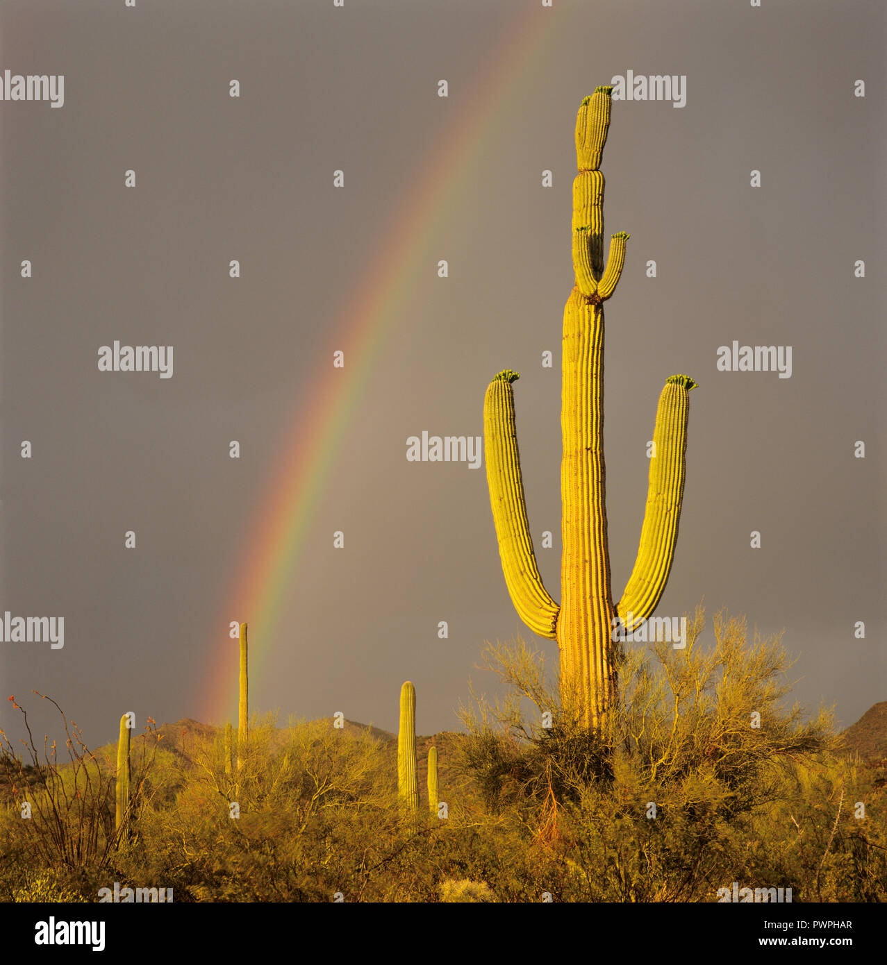 Saguaro Kaktus mit Regenbogen hinter, Sonoran Wüste, Arizona, USA Stockfoto