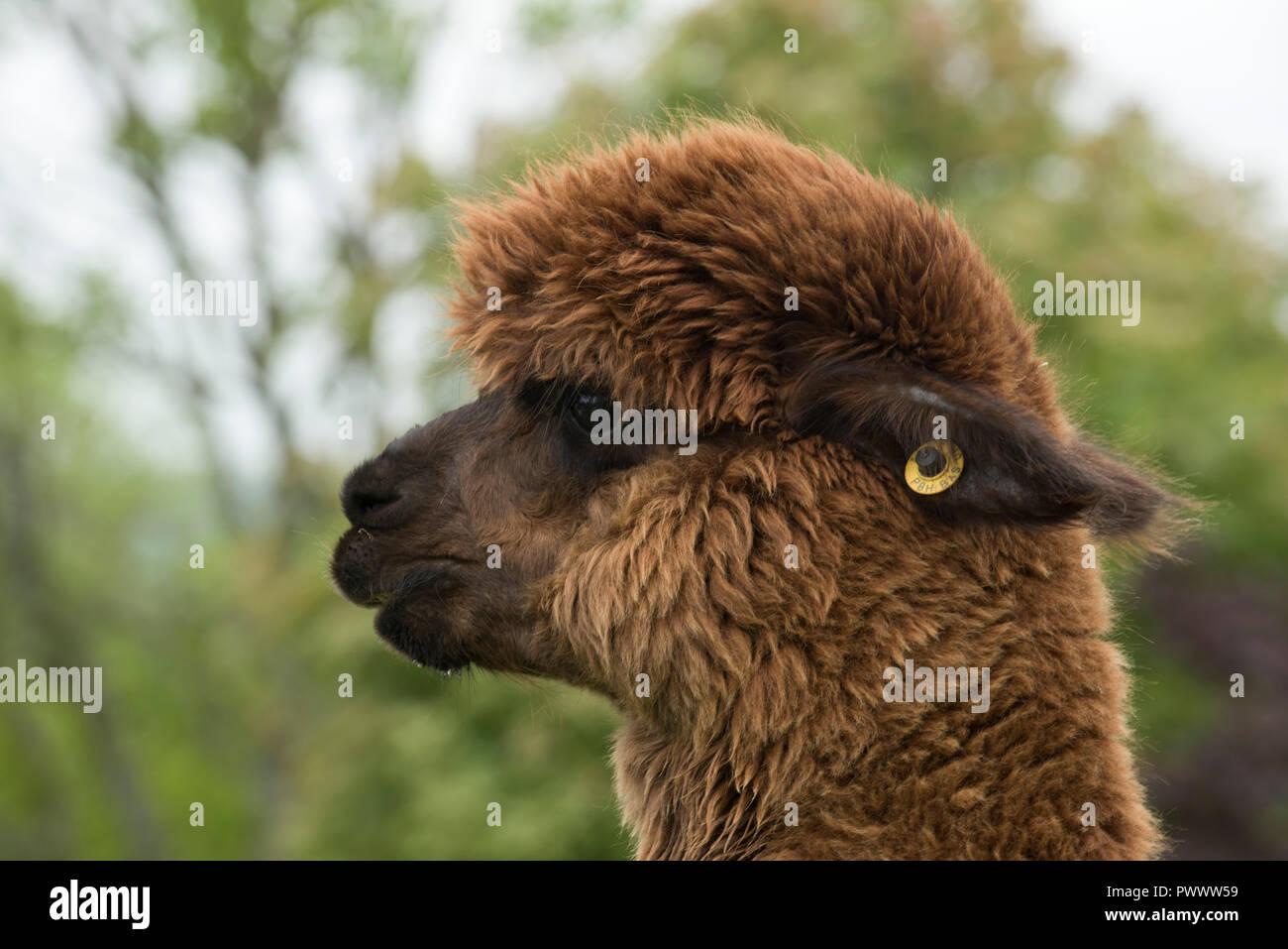 Eine braune huacaya Alpaka Kopf und Ohr-Tag mit haarfaser vor Scheren, Berkshire, Mai Stockbild