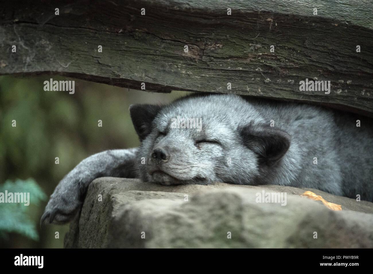 Duisburg, Deutschland. Okt, 2018 18. Ein polarfuchs liegt in seinem Gehege und schläft. Credit: Federico Gambarini/dpa/Alamy leben Nachrichten Stockbild
