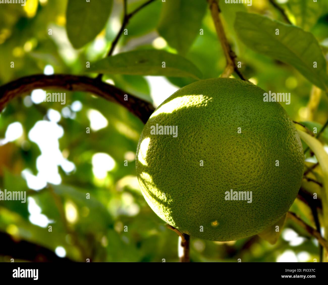 Grapefruit Nahaufnahme Obstbaum Sonnigen Tag Stockbild