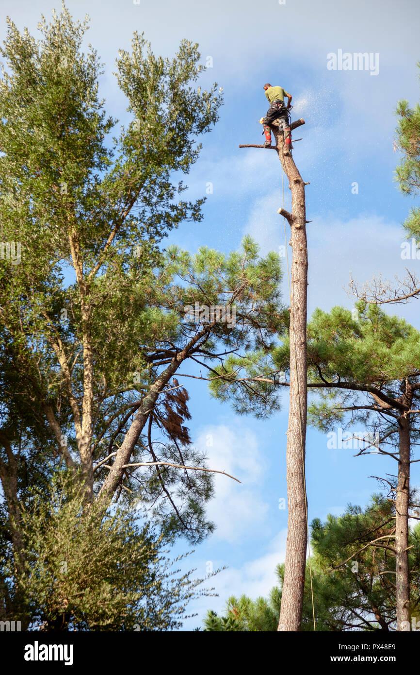 Professionelle Holzfäller in der Nähe ein Haus. Der Einschlag von hohen Pinien erfordert die Abholzung Ihrer Baumstämme von oben nach unten. Stockbild