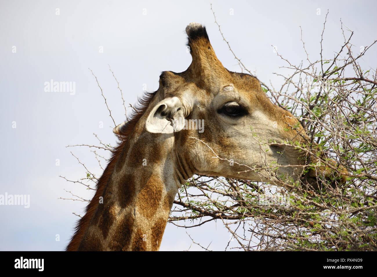 Giraffe frisst Blätter einer Akazie, Etosha Nationalpark, Republik Namibia, Afrika Stockbild
